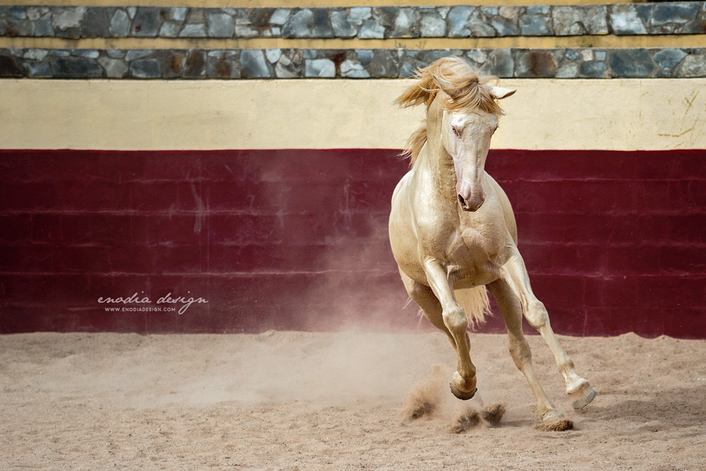 """Anyone can find the dirt in someone. Be the one who finds the GOLD"" Fantástico, Lusitano stallion. I'm in Portugal right at the moment and this photo was taken a few days ago during Lusitano World's Photo Workshop with Rita Fernandes, at the Centro Equestre Leziria Grande."
