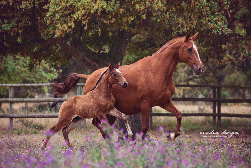 """A mother is she who can take the place of all others, but whose place no one else can take"" Auguri a tutte le mamme! 🌸 Basófia da lezírias and her super cute foal! Photo taken during Lusitano World's Photo Workshop with Rita Fernandes at the Coudelaria Companhia das Lezírias. ≈ © Giulia Basaglia - Enodia Design & Photography"